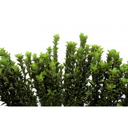 Euonymus Green Spire 1 Litre  (Pack of 6)