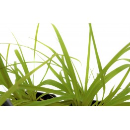 Carex Everillo 1 Litre (Pack of 6)
