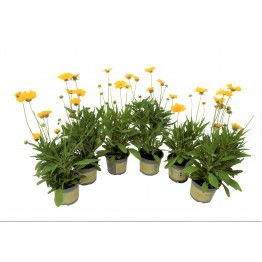 Coreopsis 1 Litre (Pack of 6)