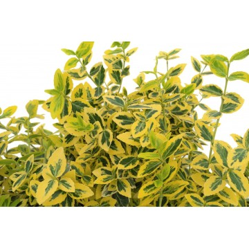 Euonymus fortunei 'Emerald 'n' Gold' 1 Litre (Pack of 6)