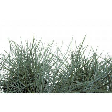 Festuca 1 Litre  (Pack of 6)