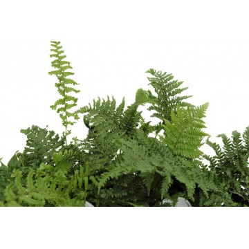 Mixed Ferns 1 Litre (Pack of 6)