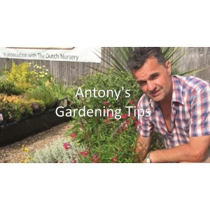 Antony's Gardening Tips - Penstemon