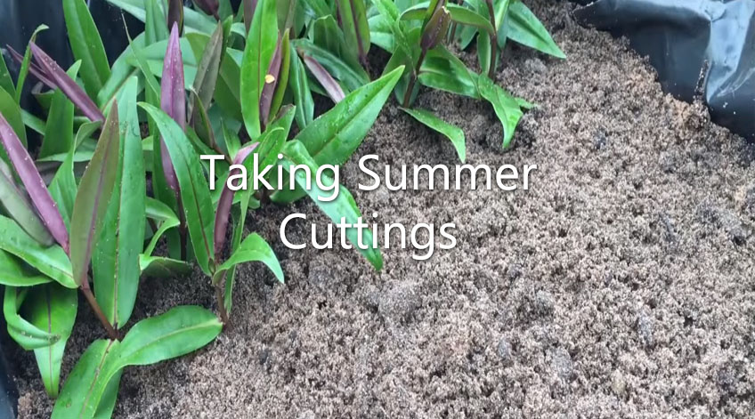 Garden on a Roll - Taking Summer Cuttings