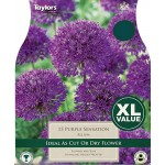 Allium 'Purple Sensation' (Pack of 15)