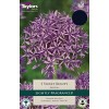 Allium 'Violet Beauty' (Pack of 5)