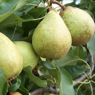 Pear Beth Bare Root Tree