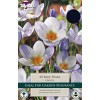 Crocus 'Blue Pearl' (Pack of 20)